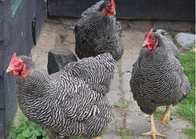 boerderij kippen zorgvakantie drenthe andewieke